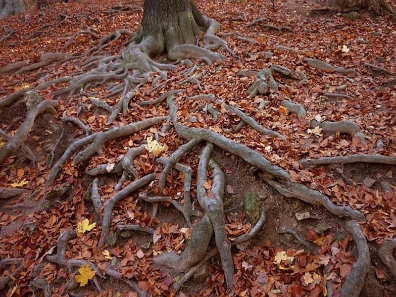 Comment bloquer les racines des arbres d'entrer dans votre jardin ?