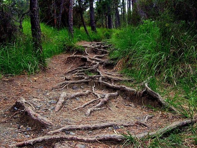 racines envahissantes